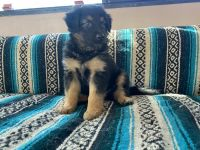 Australian Shepherd Puppies for sale in Norco, CA, USA. price: NA