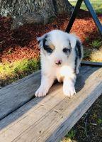 Australian Shepherd Puppies for sale in Paris, TX 75460, USA. price: NA