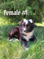 Australian Shepherd Puppies for sale in Birch Run, MI 48415, USA. price: NA