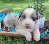 Australian Shepherd Puppies for sale in Centerville, IA 52544, USA. price: NA