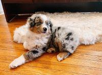 Australian Shepherd Puppies for sale in California City, CA, USA. price: NA
