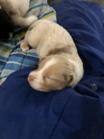 Australian Shepherd Puppies for sale in Coral Springs, FL, USA. price: NA