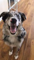 Australian Shepherd Puppies for sale in Tempe, AZ 85282, USA. price: NA