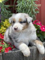 Australian Shepherd Puppies for sale in Walnut, CA, USA. price: NA