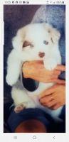 Australian Shepherd Puppies for sale in Malibu, CA, USA. price: NA