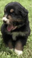 Australian Shepherd Puppies for sale in Norman, OK, USA. price: NA