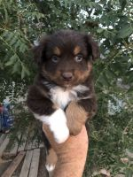 Australian Shepherd Puppies for sale in Barstow, CA, USA. price: NA