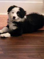 Australian Shepherd Puppies for sale in Columbia, SC, USA. price: NA