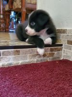 Australian Shepherd Puppies for sale in Phoenix, AZ, USA. price: NA