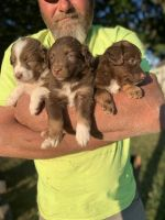 Australian Shepherd Puppies for sale in Rolla, MO, USA. price: NA