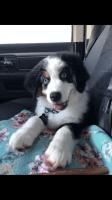 Australian Shepherd Puppies for sale in Houston, TX, USA. price: NA