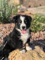 Australian Shepherd Puppies for sale in Parowan, UT 84761, USA. price: NA