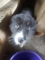 Australian Shepherd Puppies for sale in Oberlin, OH 44074, USA. price: NA