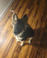 Australian Shepherd Puppies for sale in Sacramento, CA 95825, USA. price: NA