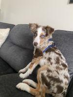 Australian Shepherd Puppies for sale in 20874 Germantown Rd, Germantown, MD 20876, USA. price: NA