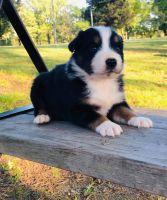Australian Shepherd Puppies for sale in Little Rock, AR, USA. price: NA