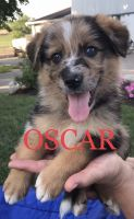 Australian Shepherd Puppies for sale in Bird in Hand, PA 17505, USA. price: NA