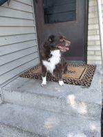 Australian Shepherd Puppies for sale in Rockford, IL 61103, USA. price: NA