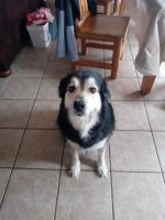 Australian Shepherd Puppies for sale in Saratoga Springs, UT 84045, USA. price: NA