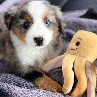 Australian Shepherd Puppies for sale in 105 Coffee Rd, Harrisburg, IL 62946, USA. price: NA