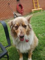 Australian Shepherd Puppies for sale in Bowie, TX 76230, USA. price: NA