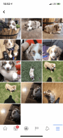 Australian Shepherd Puppies for sale in Wolfe City, TX 75496, USA. price: NA
