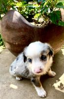Australian Shepherd Puppies for sale in Paris, TX, USA. price: NA
