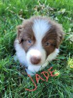 Australian Shepherd Puppies for sale in Caldwell, ID, USA. price: NA