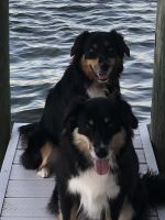 Australian Shepherd Puppies for sale in 1868 Carsons Cove, Commerce Charter Twp, MI 48390, USA. price: NA