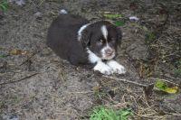Australian Shepherd Puppies for sale in Franklin, TX 77856, USA. price: NA