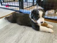 Australian Shepherd Puppies for sale in Indianapolis, IN, USA. price: NA
