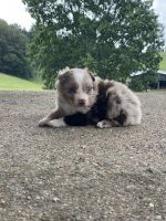 Australian Shepherd Puppies for sale in Tompkinsville, KY 42167, USA. price: NA