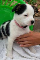 Australian Shepherd Puppies for sale in Newaygo, MI 49337, USA. price: NA