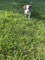 Australian Shepherd Puppies for sale in Ludowici, GA 31316, USA. price: NA