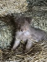 Australian Shepherd Puppies for sale in Canton, MI, USA. price: NA