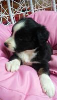 Australian Shepherd Puppies for sale in Munfordville, KY 42765, USA. price: NA
