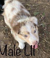Australian Shepherd Puppies for sale in Hempstead, TX 77445, USA. price: NA