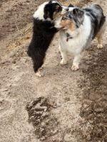 Australian Shepherd Puppies for sale in 12710 Alarcon Rd, San Elizario, TX 79849, USA. price: NA