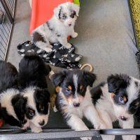 Australian Shepherd Puppies for sale in Charlotte, NC, USA. price: NA