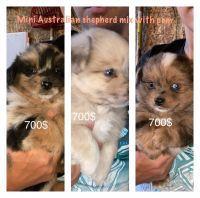 Australian Shepherd Puppies for sale in LaGrange, IN 46761, USA. price: NA
