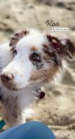 Australian Shepherd Puppies for sale in Norman, OK 73071, USA. price: NA