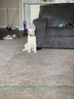 Australian Shepherd Puppies for sale in 850 Greenside Dr, Richardson, TX 75080, USA. price: NA