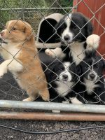 Australian Shepherd Puppies for sale in Columbia, KY 42728, USA. price: NA
