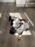 Australian Stumpy Tail Cattle Dog Puppies Photos