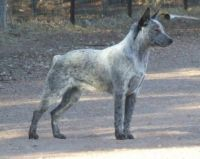 australian stumpy tail cattle dog dog