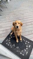 Australian Terrier Puppies for sale in Virginia Beach, VA, USA. price: NA