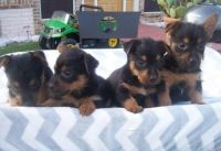 Australian Terrier Puppies for sale in Independence, MO, USA. price: NA