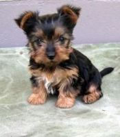 Australian Terrier Puppies for sale in Phoenix, AZ, USA. price: NA
