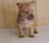Australian Terrier Puppies for sale in Colorado Springs, CO, USA. price: NA