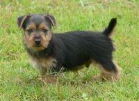 Australian Terrier Puppies for sale in Arden, DE 19810, USA. price: NA